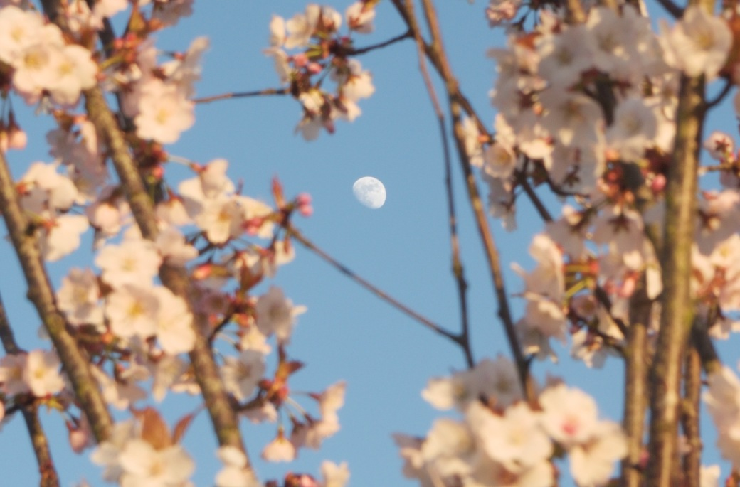 Waxing gibbous springtime moon